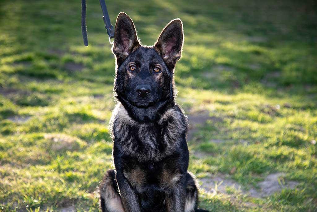 Reputable German Shepherd Breeder