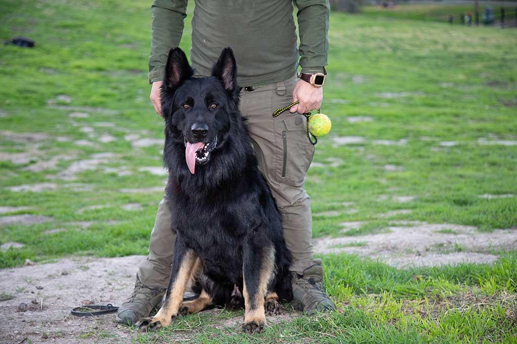 Police German Shepherd Dog