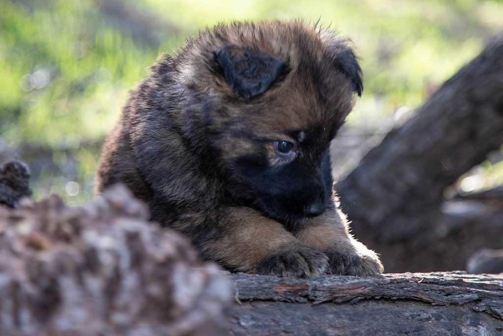 Sable GSD puppy